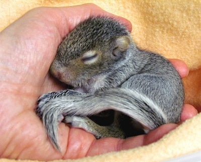 Baby squirrel in hand