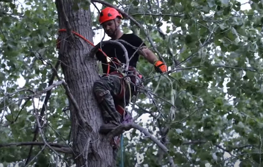 Arborist in tree about to prune branches in Burke, Virginia