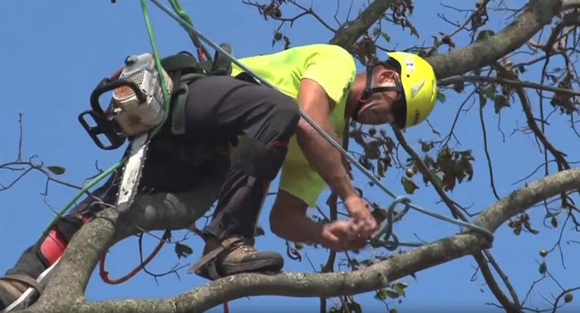 Arborist pruning a tree in Manassas
