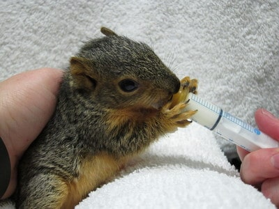 Baby squirrel being fed with a syringe