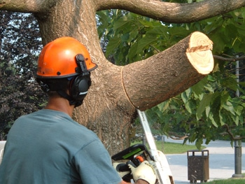 Worker removing a large tree branch
