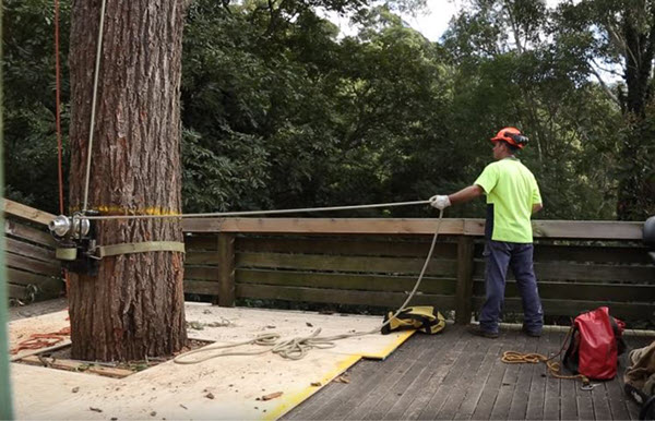Arborist preparing for a tree removal job in northern Virginia