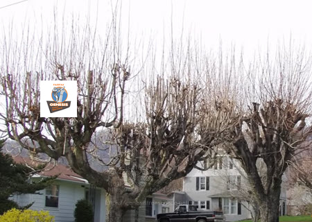 Photo of trees after tree topping service
