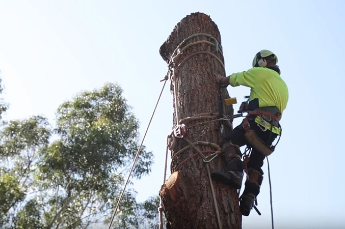Certified arborist removing a tree