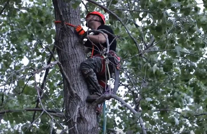 Arborist trimming and pruning a tree in Centreville, Virginia