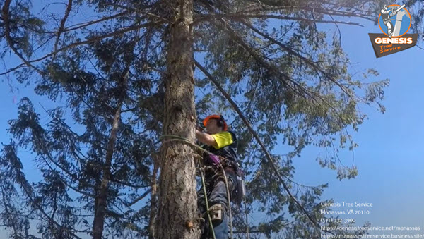 Arborist enjoying his freedom Tree Service Manassas VA